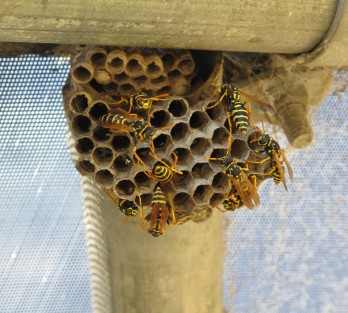 Paper_wasps_and_nest-1024x923